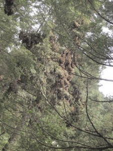 Monarchs in the trees at Cerro Pelon