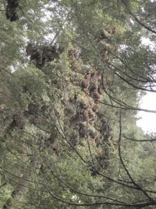 Monarchs in the trees at Cerro Pelon